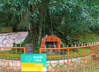 Chain tree or Changala Maram in Wayanad a major tourist attraction